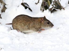 Ultrahangos patkányriasztó: készüljön fel a télre!
